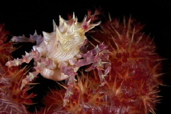 A soft coral crab with either eggs or a parasite. This wa... by Steve De Neef 